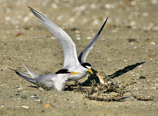 01-Endangered-least-tern