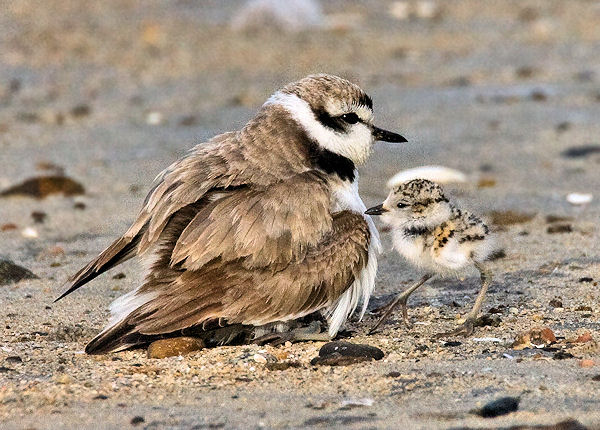 Western Snowy Plover photo: Steve Eric Smith