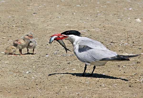 09-caspian-tern-with-chicks