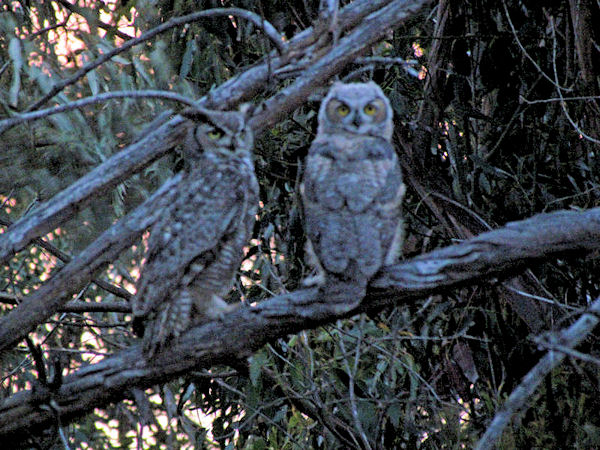 10-great-horned-owl-with-juvenile-horned-owl