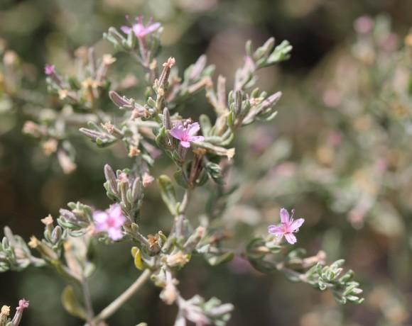 Frankenia salina alkali heath 2