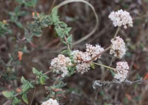 coastal buckwheat