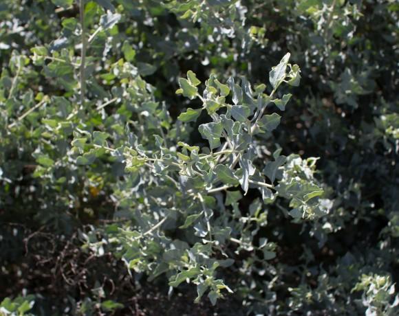 quail bush