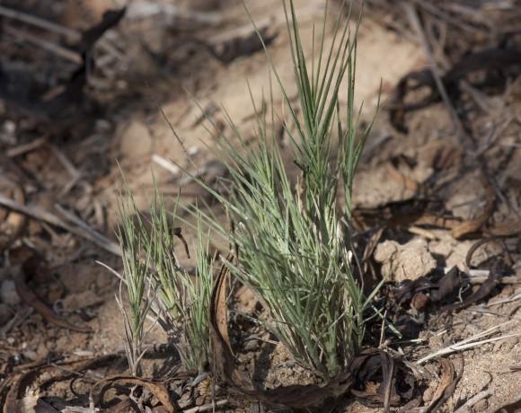 salt grass