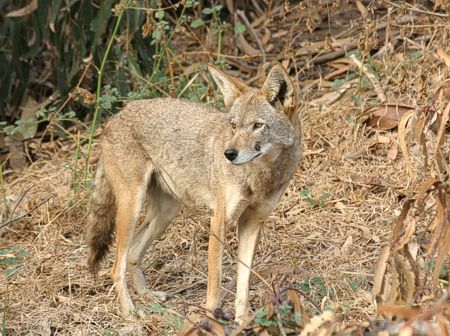 01-Coyote