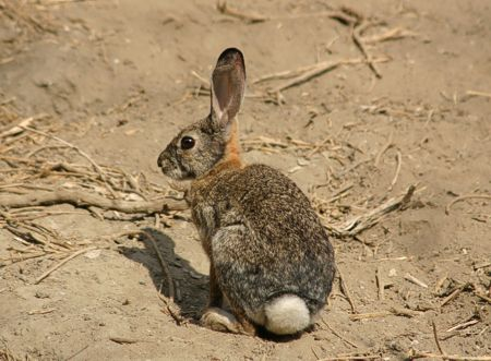 03-Cottontail-Rabbit
