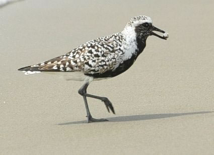 04-Black-Bellied-Plover