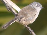 06-California-Gnatcatcher
