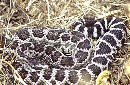 06-west-pacific-rattlesnake