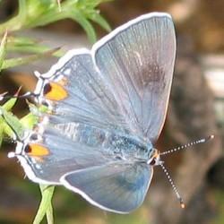 Common Hairstreak Butterfly