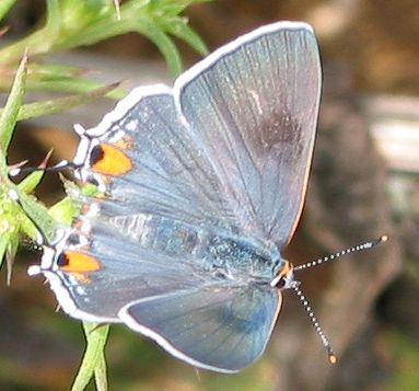 07-common-hairstreak