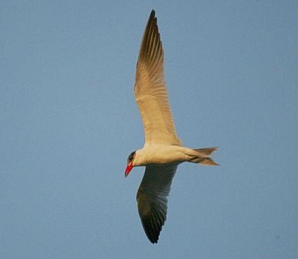 08-Caspian-Tern