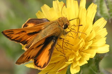 08-fiery-skipper