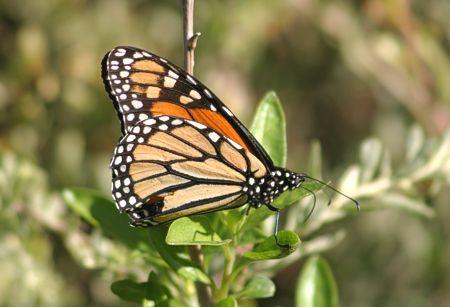 09-monarch
