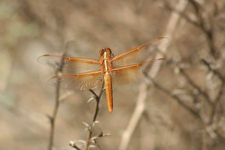 11-flame-skimmer-dragonfly
