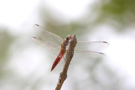 12-vampire-dragonfly