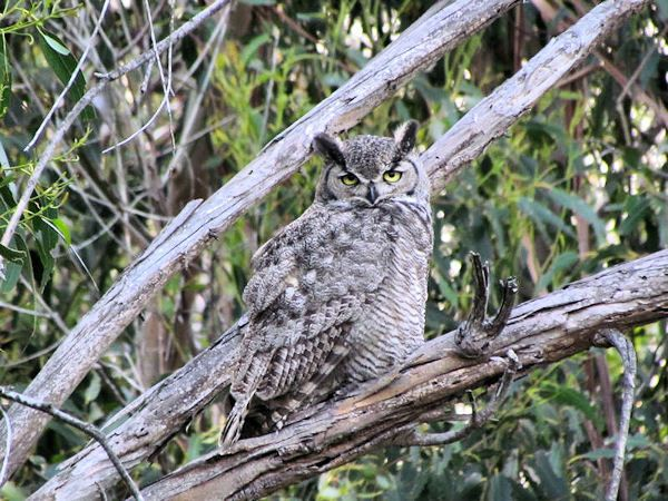 14-Great-Horned-Owl