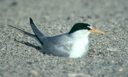 16-Least-Tern