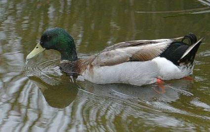 19-Mallard-Duck