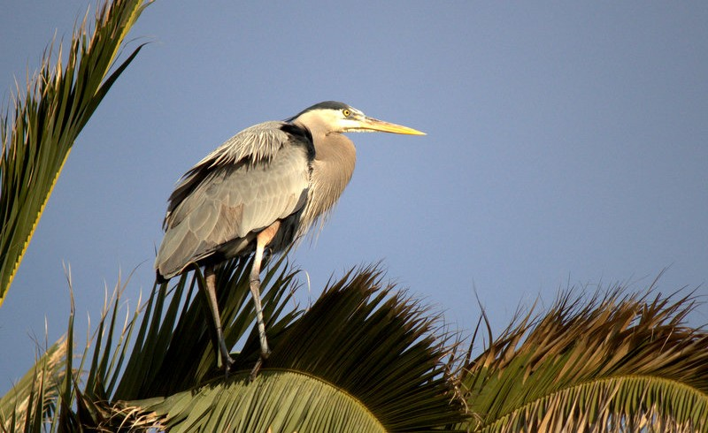 Herons getting ready to nest