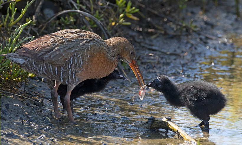 Baby Pictures of the Ridgway Rails from Steven Eric Smith