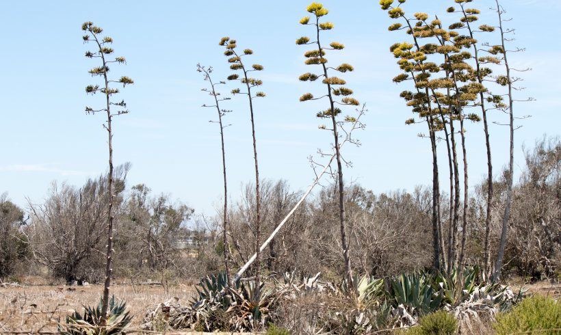 Agave americana- American Century Plant