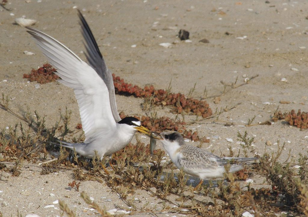 photo Least Terns: Connie Boardman