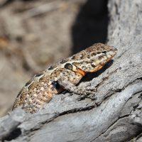 Common Reptiles of Bolsa Chica