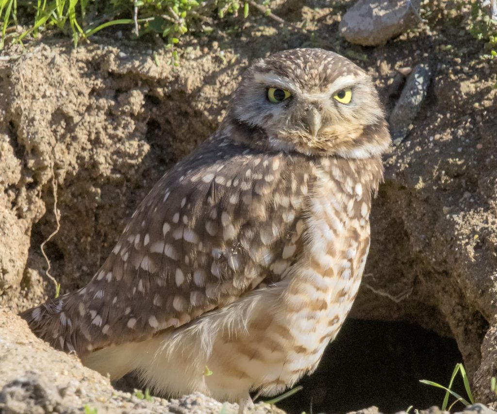 Burrowing Owl by John Hannan