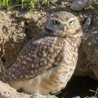Bird of the Month- January is the Burrowing Owl
