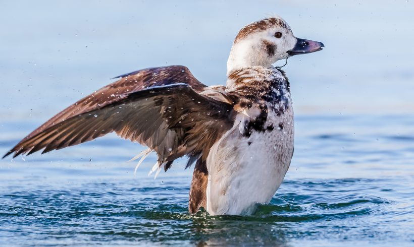 Bird of the Month- February is Long-tailed Duck