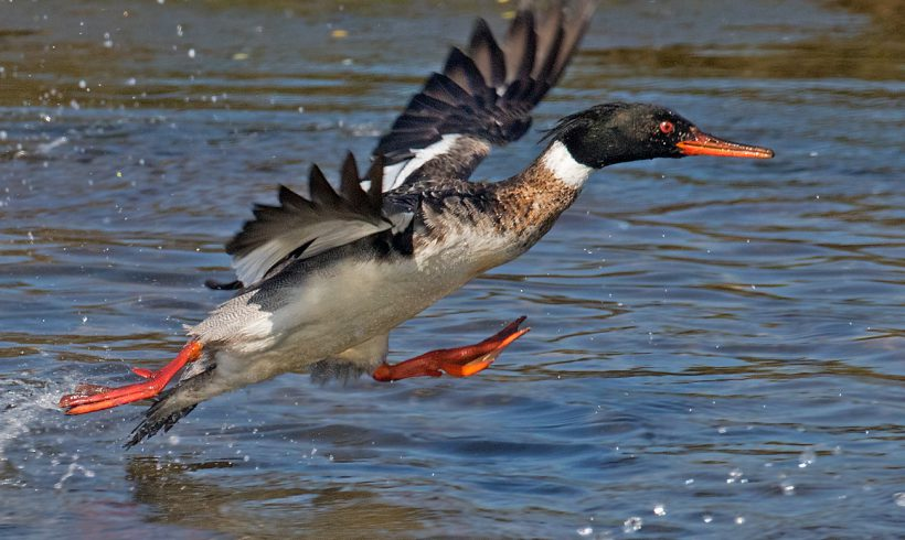 April Bird of the Month – Red-Breasted Merganser