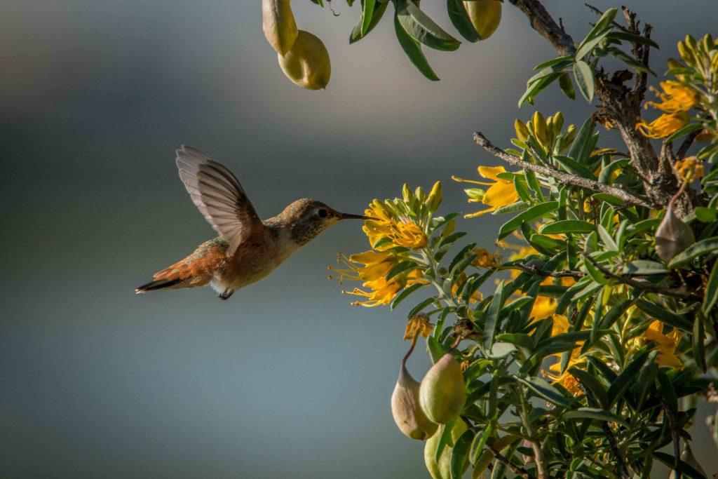 Allen's Hummingbird: Scott Thompson