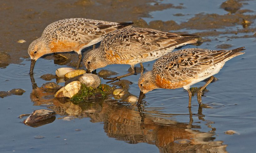 Bird of the Month — June is the Red Knot
