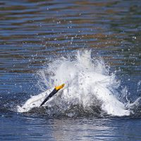 Bird of the Month — July is the Snowy Egret
