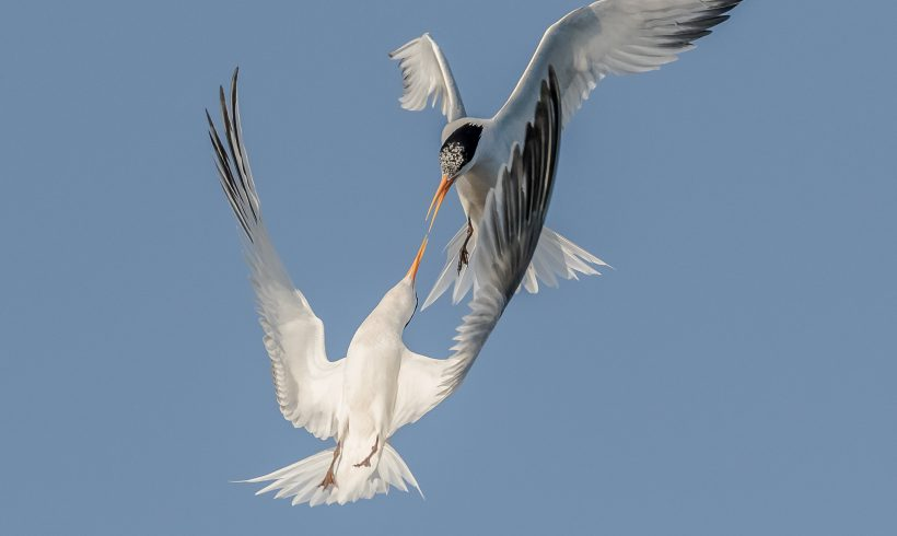 Bird of the Month- August is the Elegant Tern