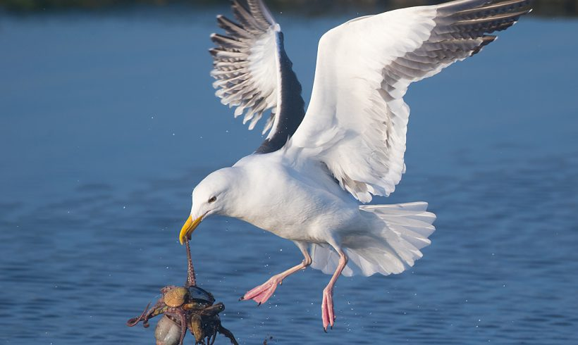Bird of the Month- September is the Western Gull