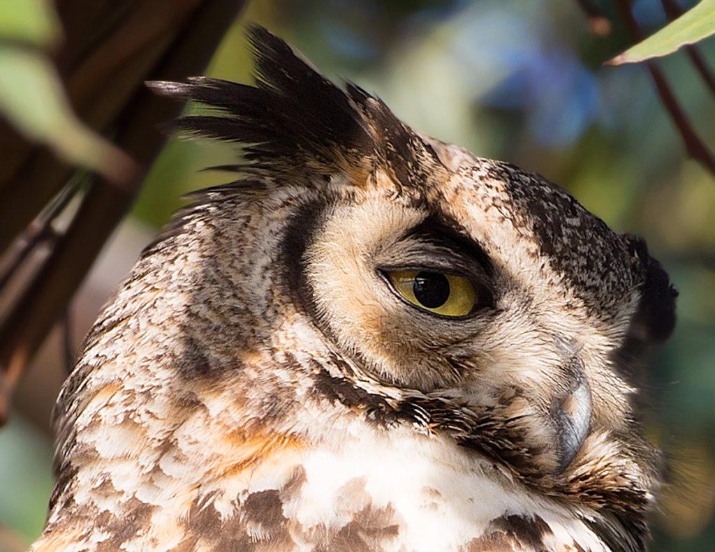 Great Horned Owl - Bolsa Chica