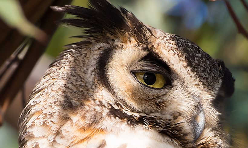 Bird of the Month- October is the Great Horned Owl