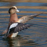 Bird of the Month- November is the American Wigeon