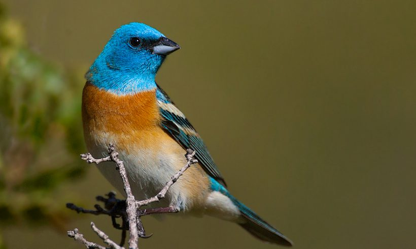 Extra Bird of the Month- Lazuli Bunting (2019 Calendar Cover)