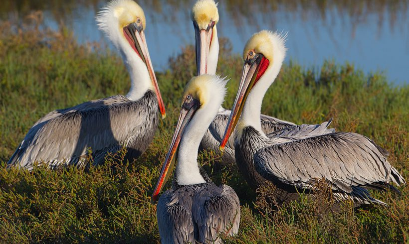 Bird of the Month- February is the Brown Pelican