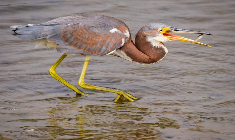 Bird of the Month- May is the Tricolored Heron
