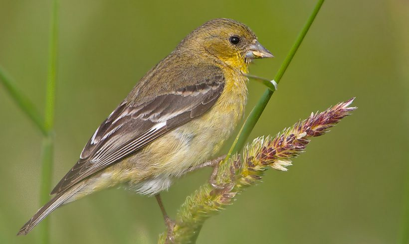 Bird of the Month- June is the Lesser Goldfinch