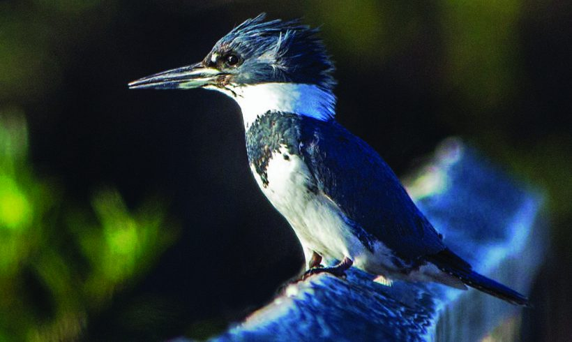 Bird of the Month- August is the Belted Kingfisher