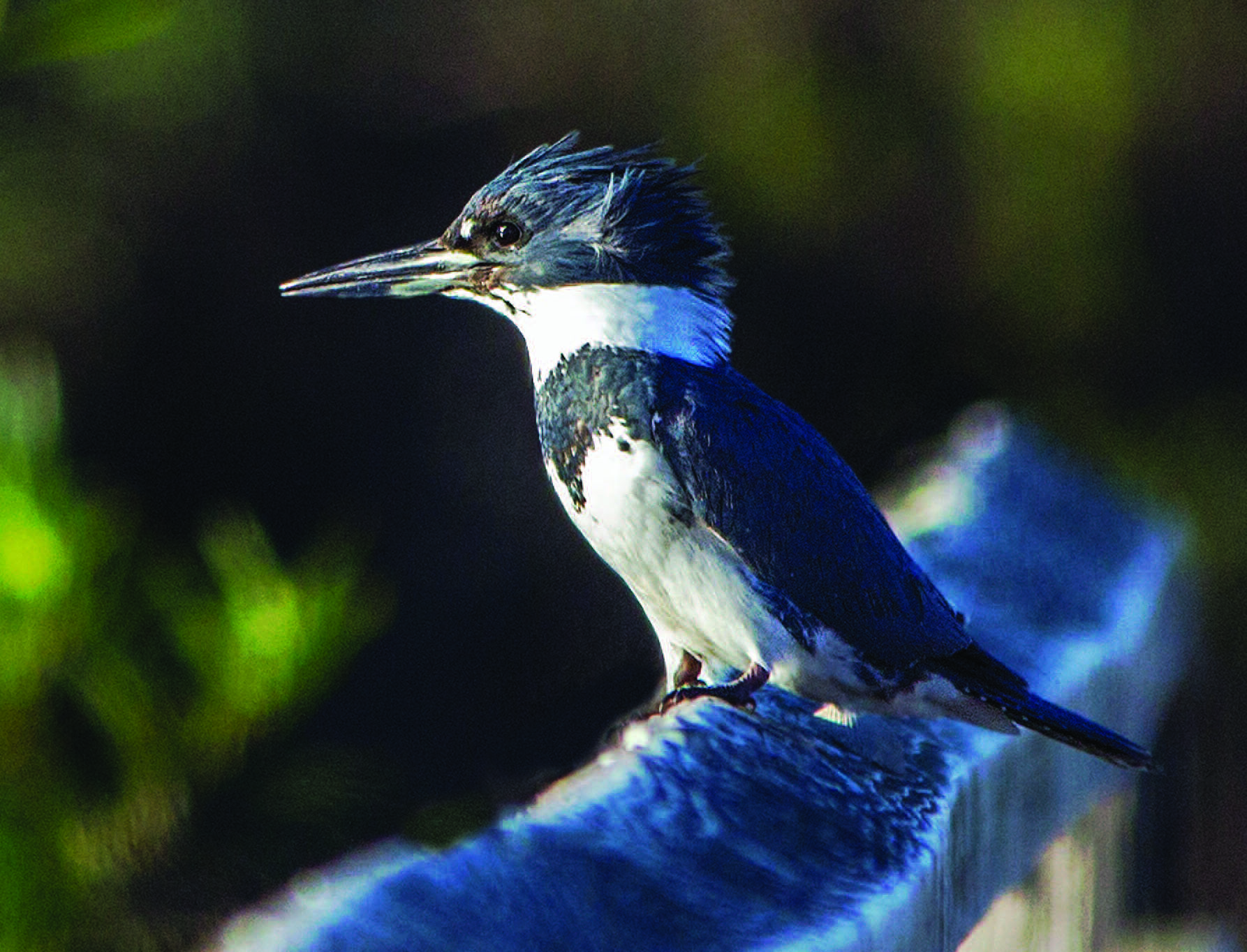 Bird Of The Month August Is The Belted Kingfisher Bolsa Chica Land Trust