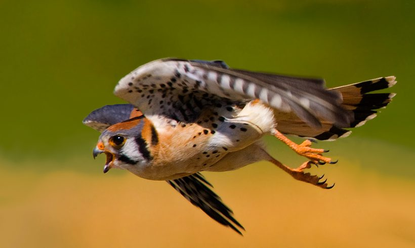 Bird of the Month- September is the American Kestrel