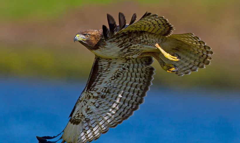Bird of the Month- October is the Red-tailed Hawk