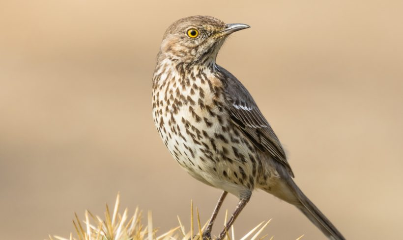 Bird of the Month- November is the Sage Thrasher