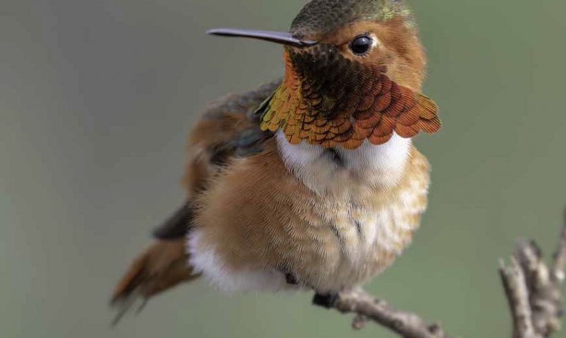Bird of the Month- January 2020 is Allen's Hummingbird